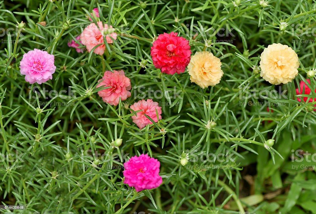 Moss Rose stock photo