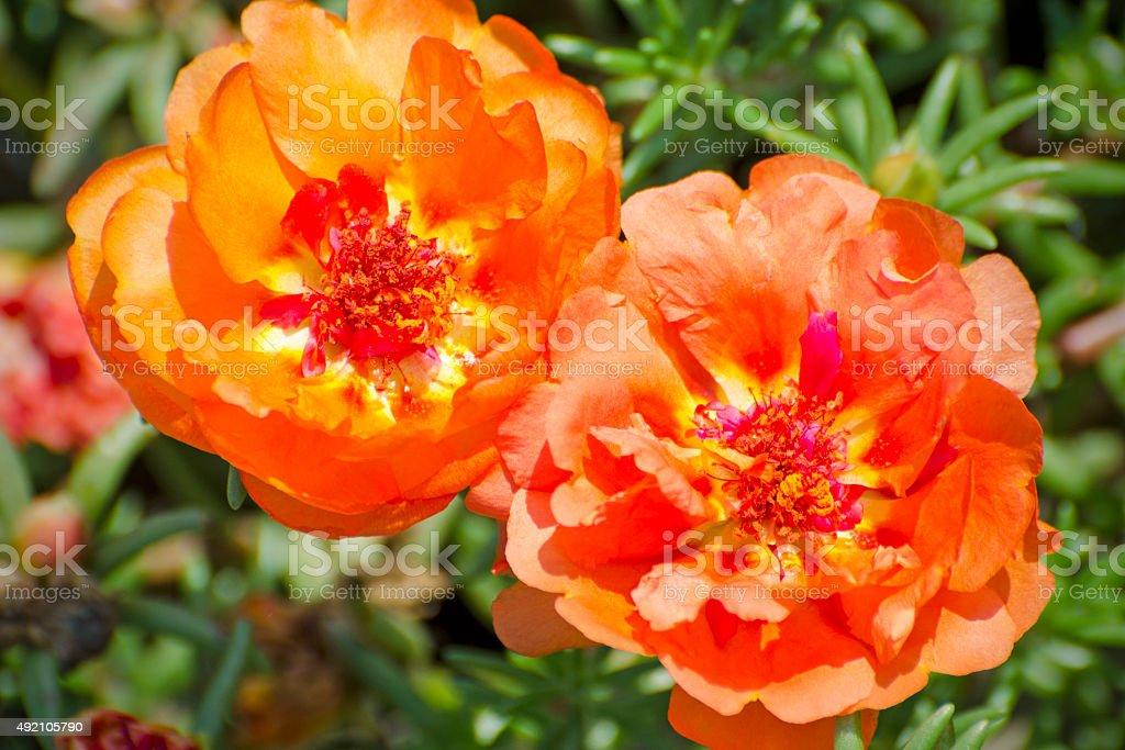 moss rose, Portulaca grandiflora 'Happy Trails Orange' stock photo