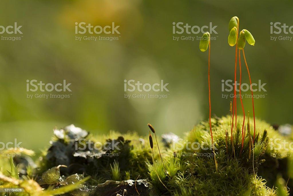Moss Spore Capsules stock photo