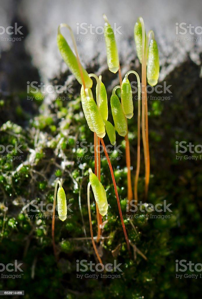 moss sporophytes stock photo