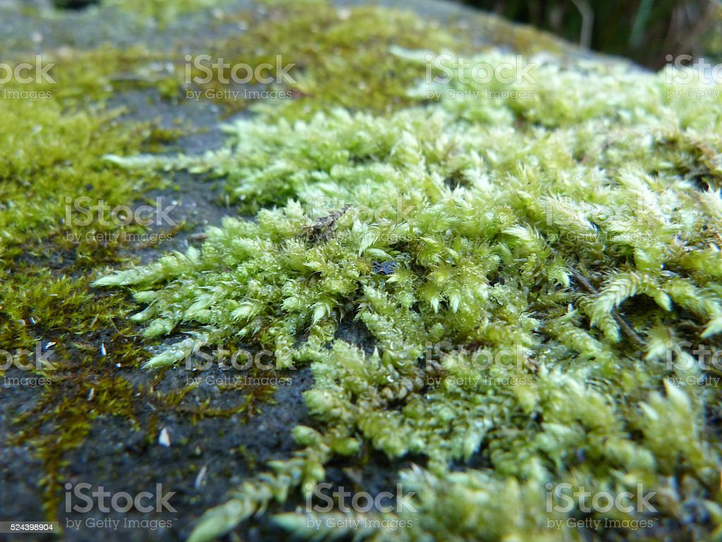 Moss tendrils on rock stock photo