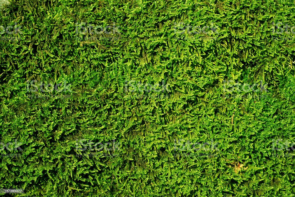 Moss texture royalty-free stock photo