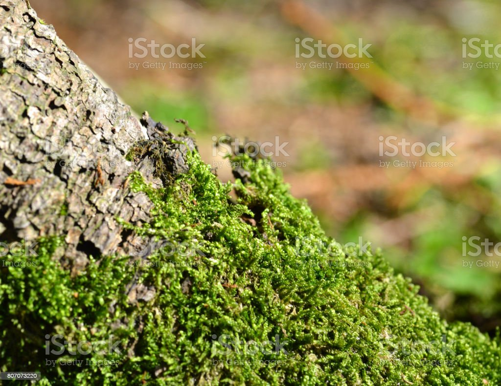 Moss Tree stock photo