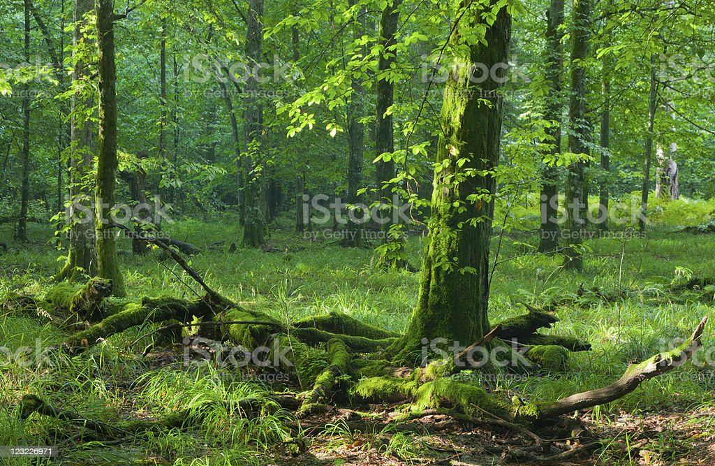 Moss wrapped hornmeam and broken one  lying stock photo