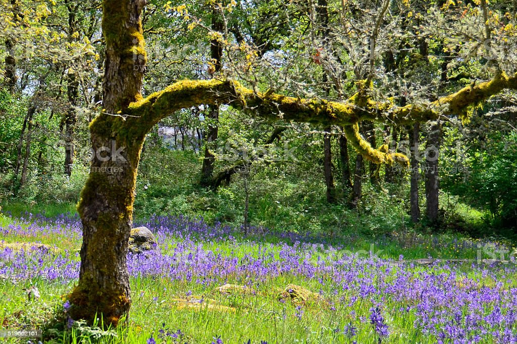Moss-covered tree with camas lilies blooming stock photo