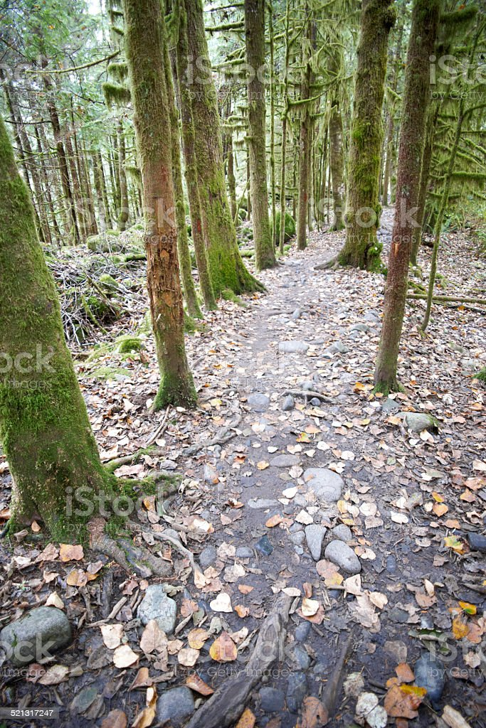 Mossed tress in forest stock photo