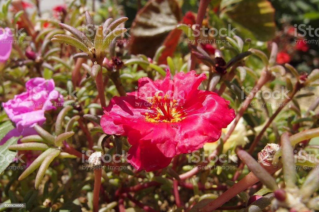 Moss-rose Purslane stock photo