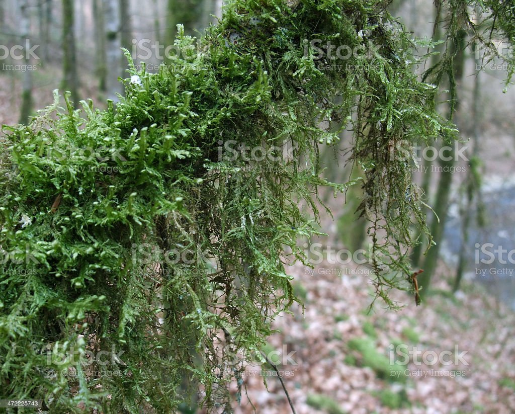 mossy branch royalty-free stock photo