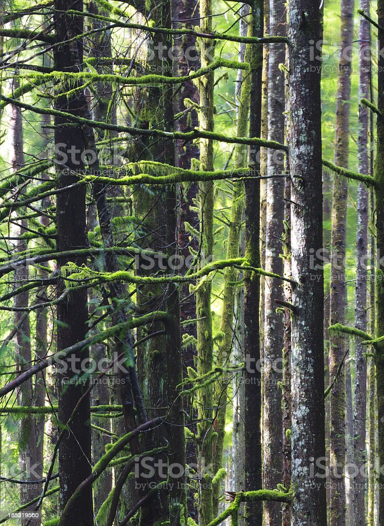 Mossy Branches in West Coast Rainforest stock photo