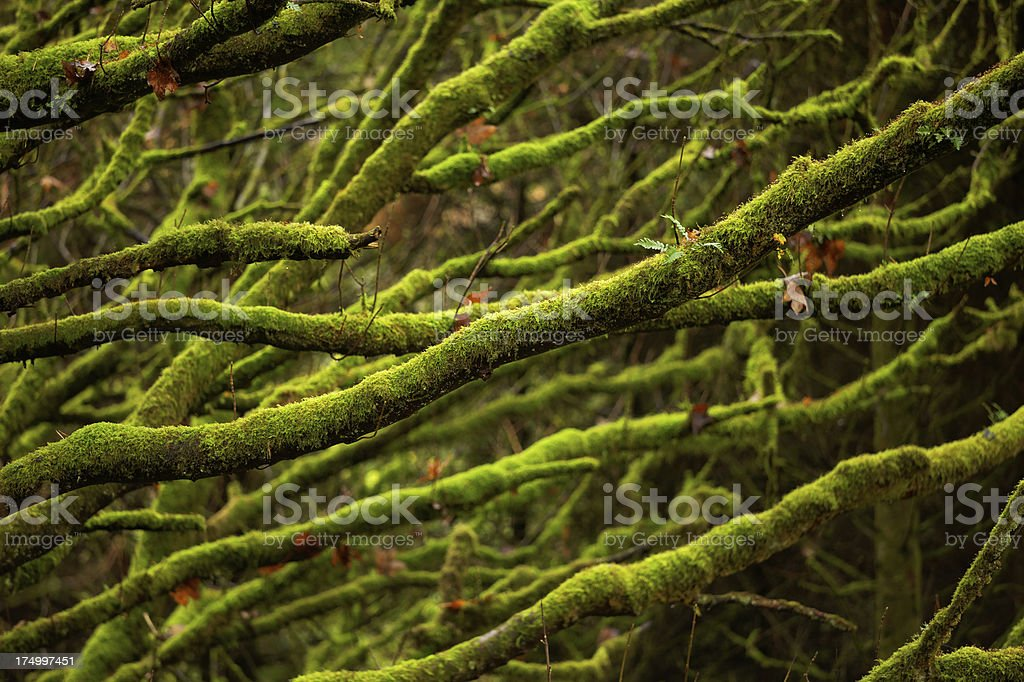 mossy branches royalty-free stock photo