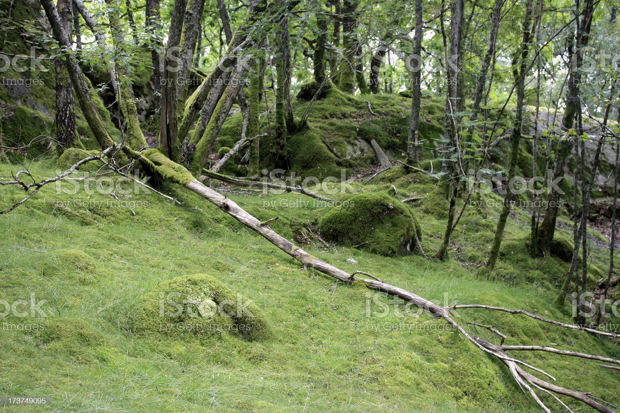 Mossy forest clearing tranquil nature background royalty-free stock photo