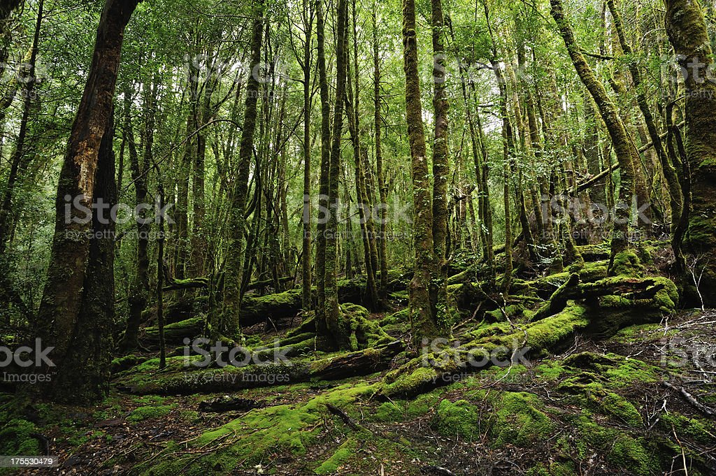 'Mossy Forest,' stock photo