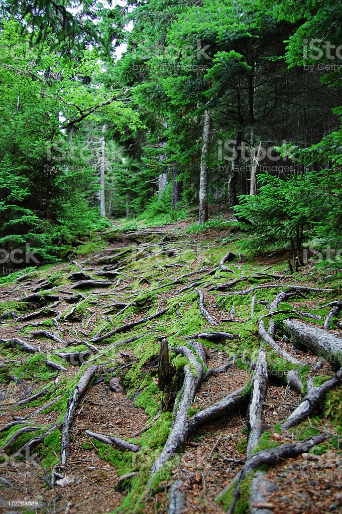Mossy forest trail with overgrown tree roots stock photo
