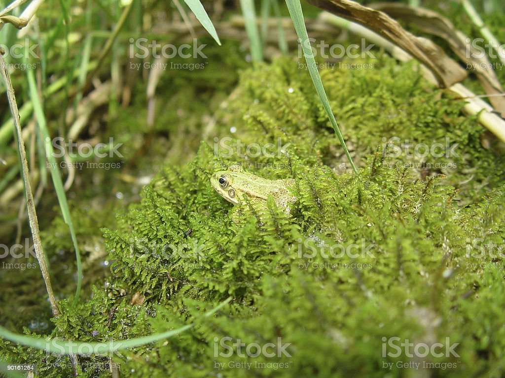 Mossy Frog royalty-free stock photo