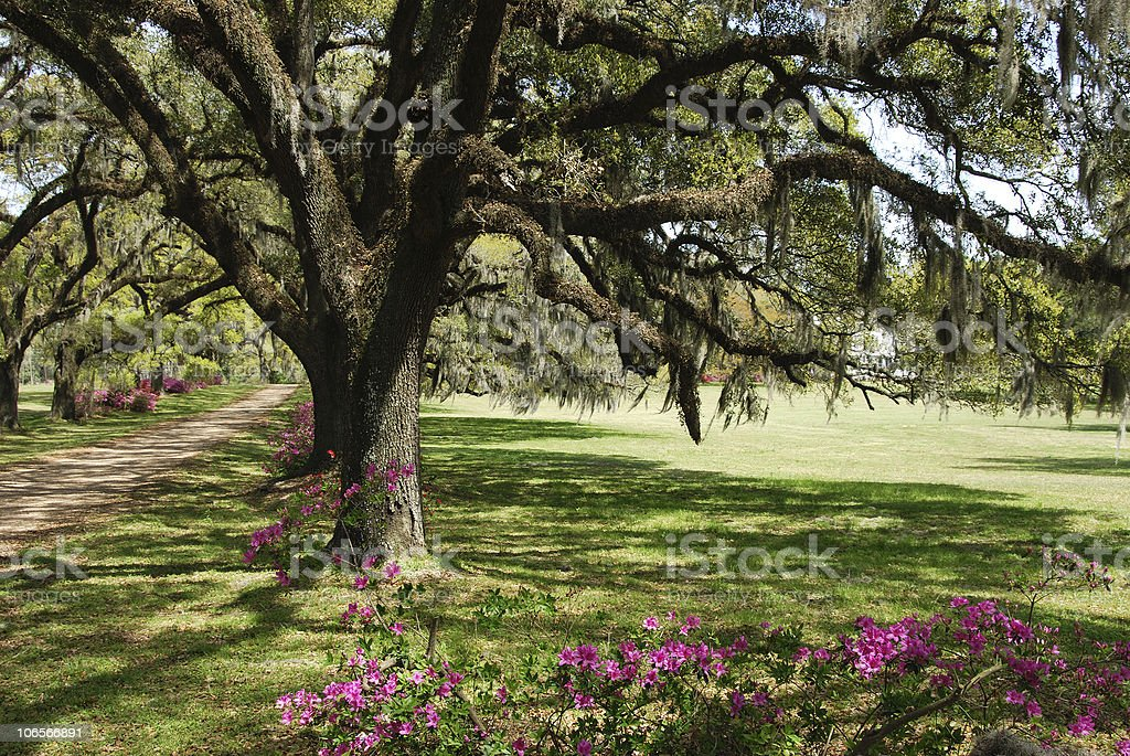 Mossy Oaks royalty-free stock photo