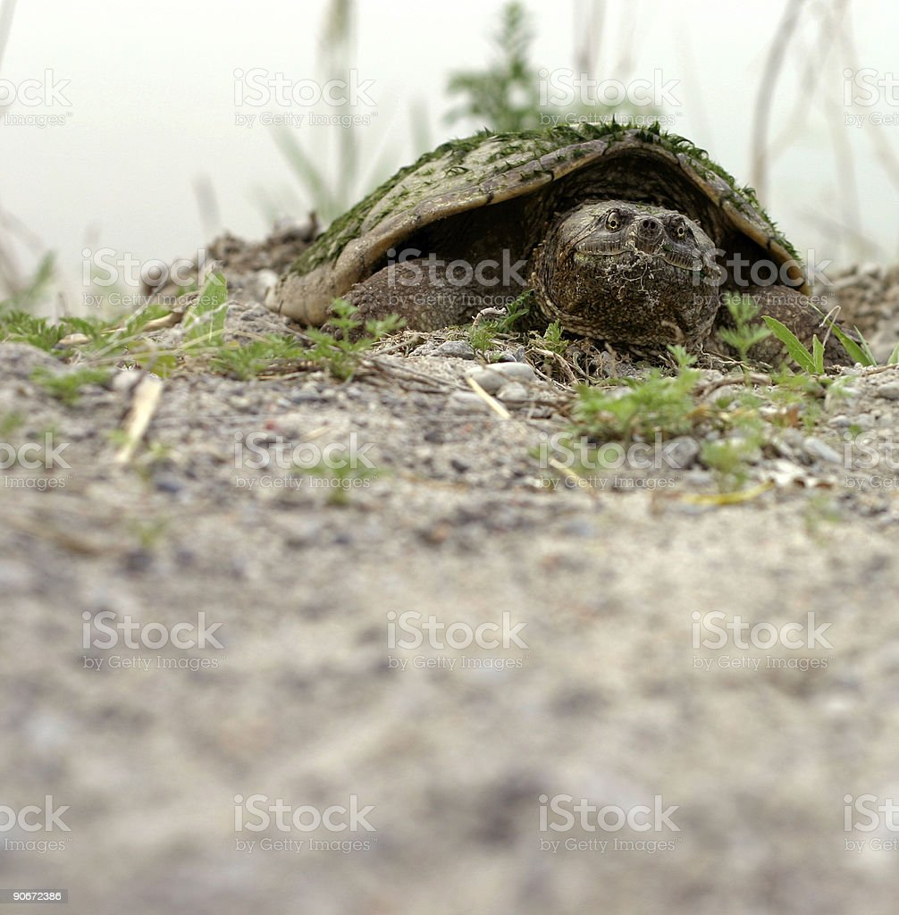 Mossy Snapping Turtle royalty-free stock photo