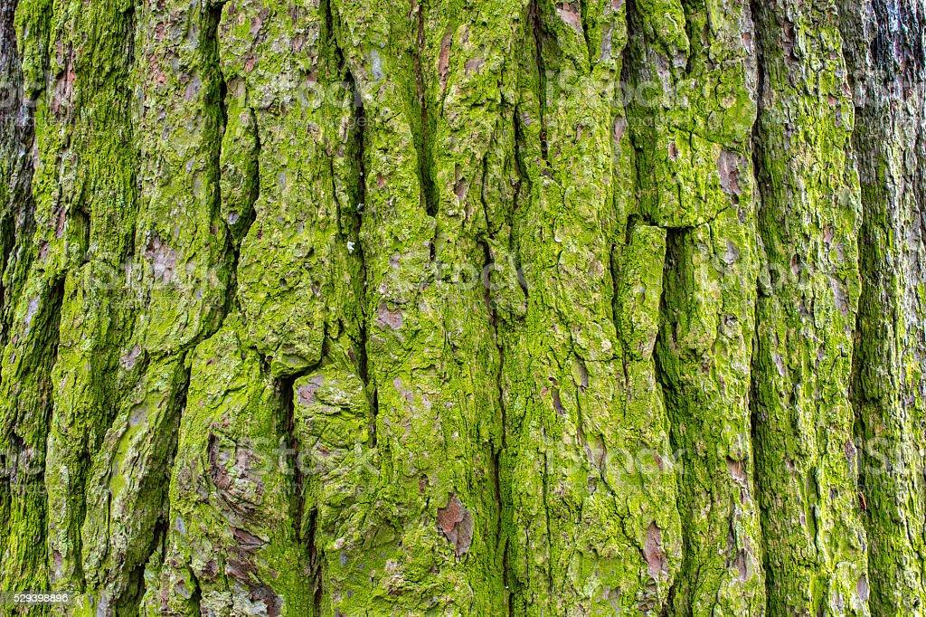 mossy tree bark 2 stock photo