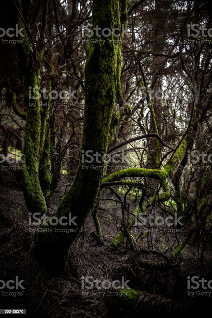 Mossy tree in a Canary Island Pines forest at Ruta de los Volcanes, Cumbre Vieja, La Palma, Spain. stock photo