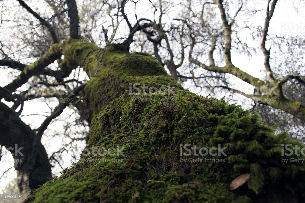 Mossy Tree royalty-free stock photo