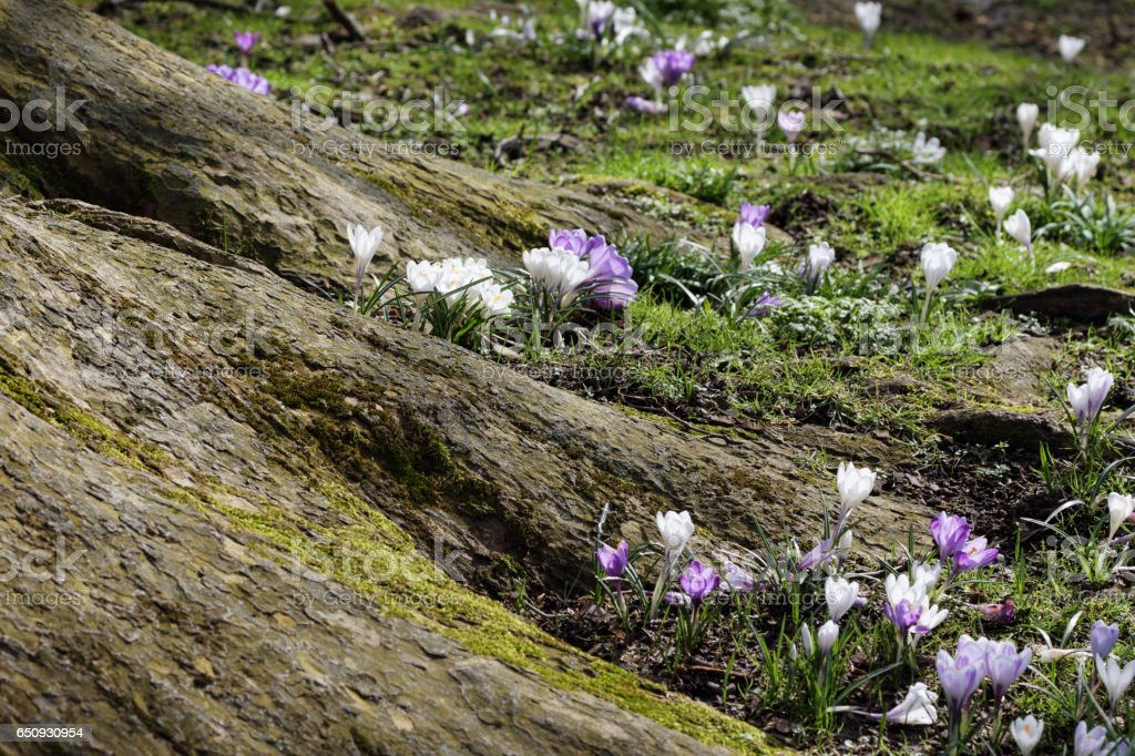Mossy tree roots with crocuses purple and white stock photo
