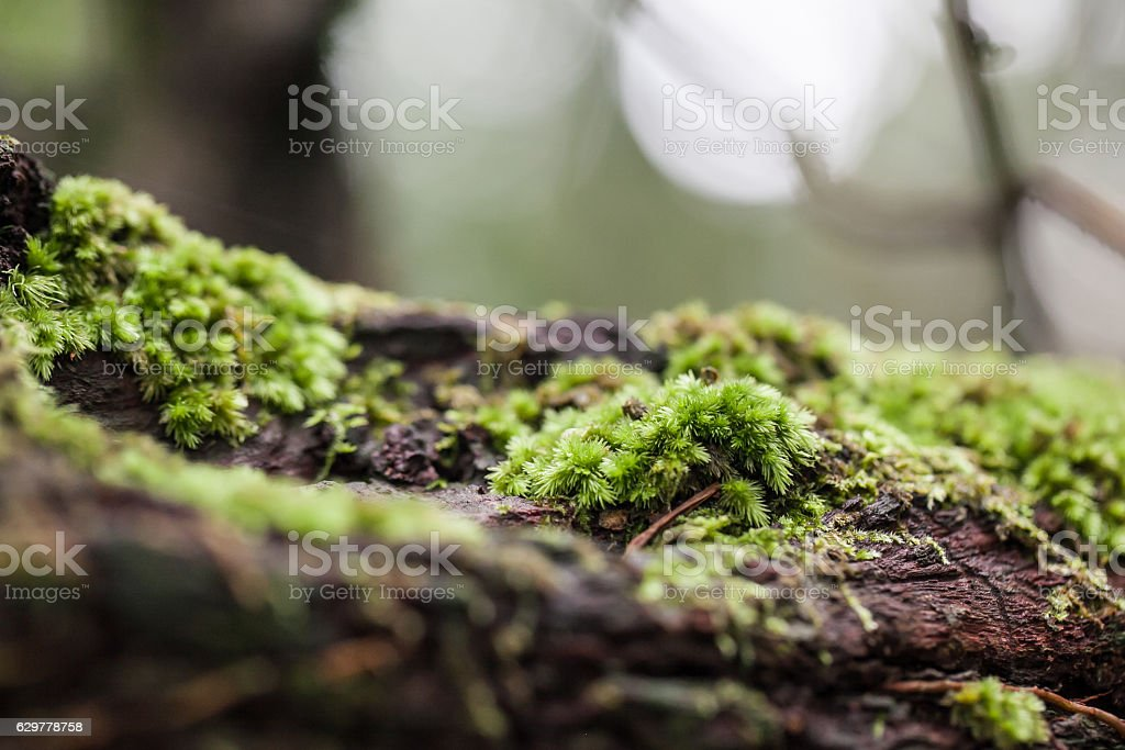 mossy tree trunk in the forest, selective focus stock photo