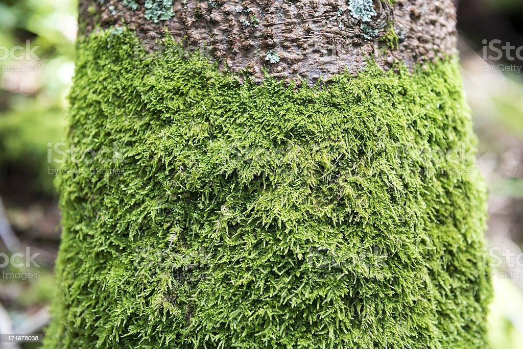 Mossy tree trunk royalty-free stock photo
