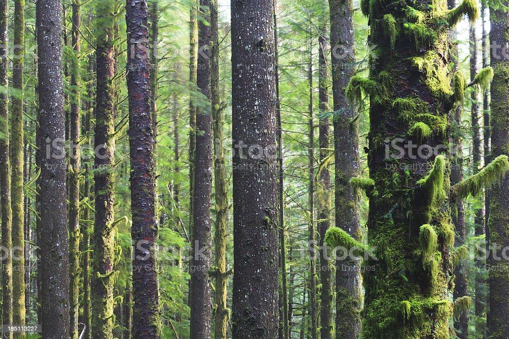 Mossy Tree Trunks in West Coast Rainforest stock photo