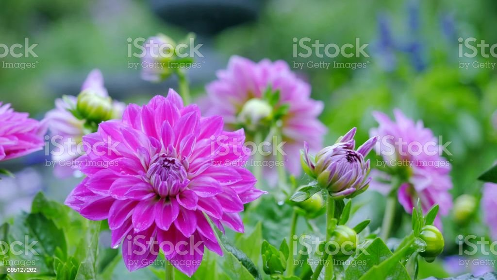 Most dahlias in the garden among green leaves. stock photo