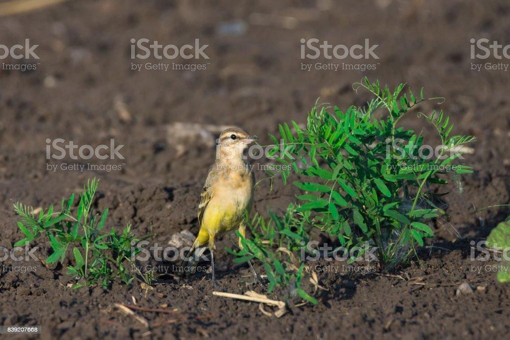 Motacilla flava on grass stock photo
