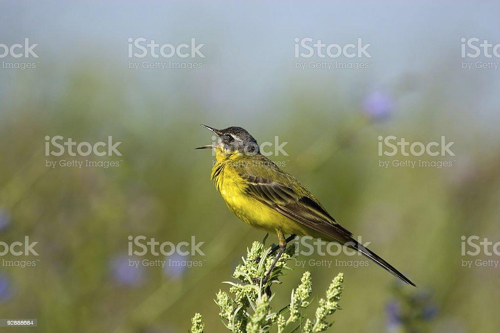 Motacilla flava, Yellow Wagtail stock photo