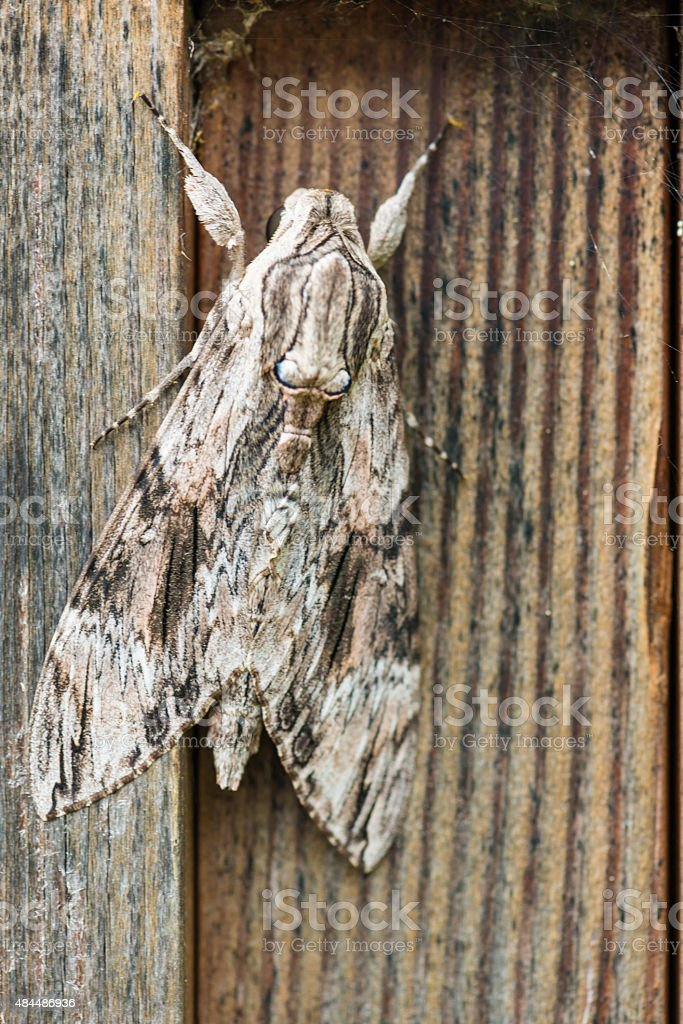 Moth Agrius convolvuli stock photo