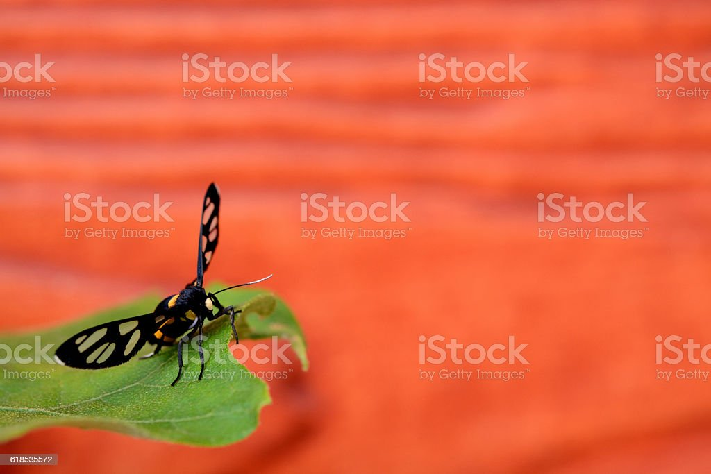 Moth are mating bouquet. stock photo