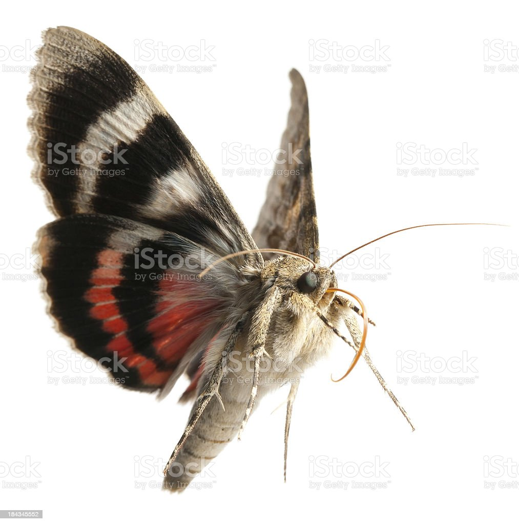 moth flying stock photo