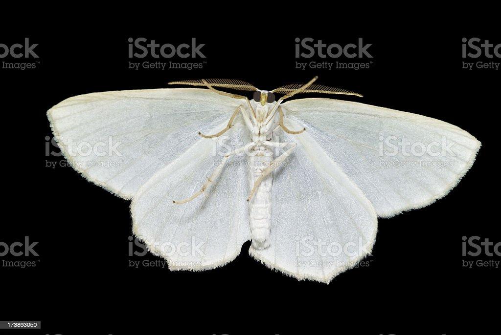 moth - full underside macro stock photo