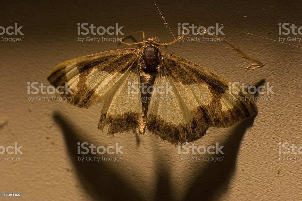 Moth in a Web stock photo