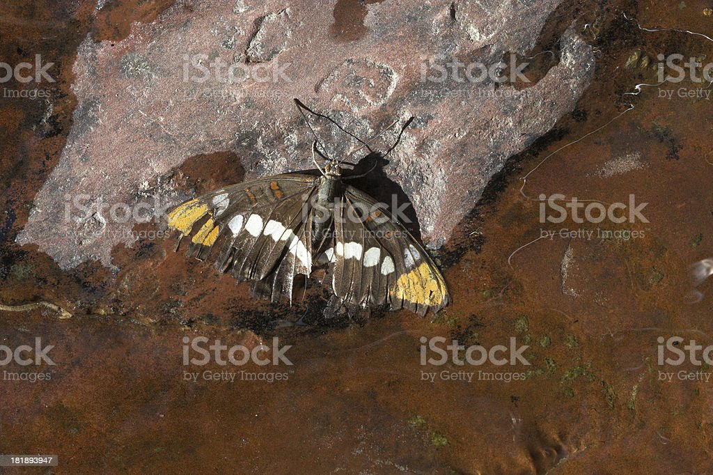 Moth In Water royalty-free stock photo