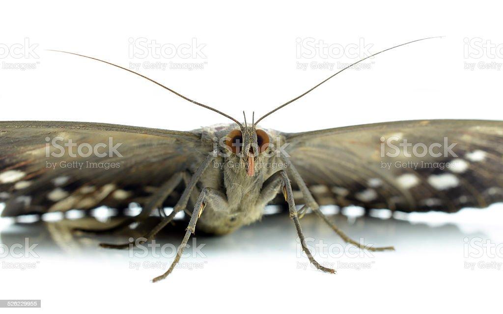 moth isolated on white stock photo