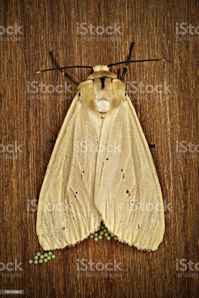 Moth laying eggs on wood royalty-free stock photo