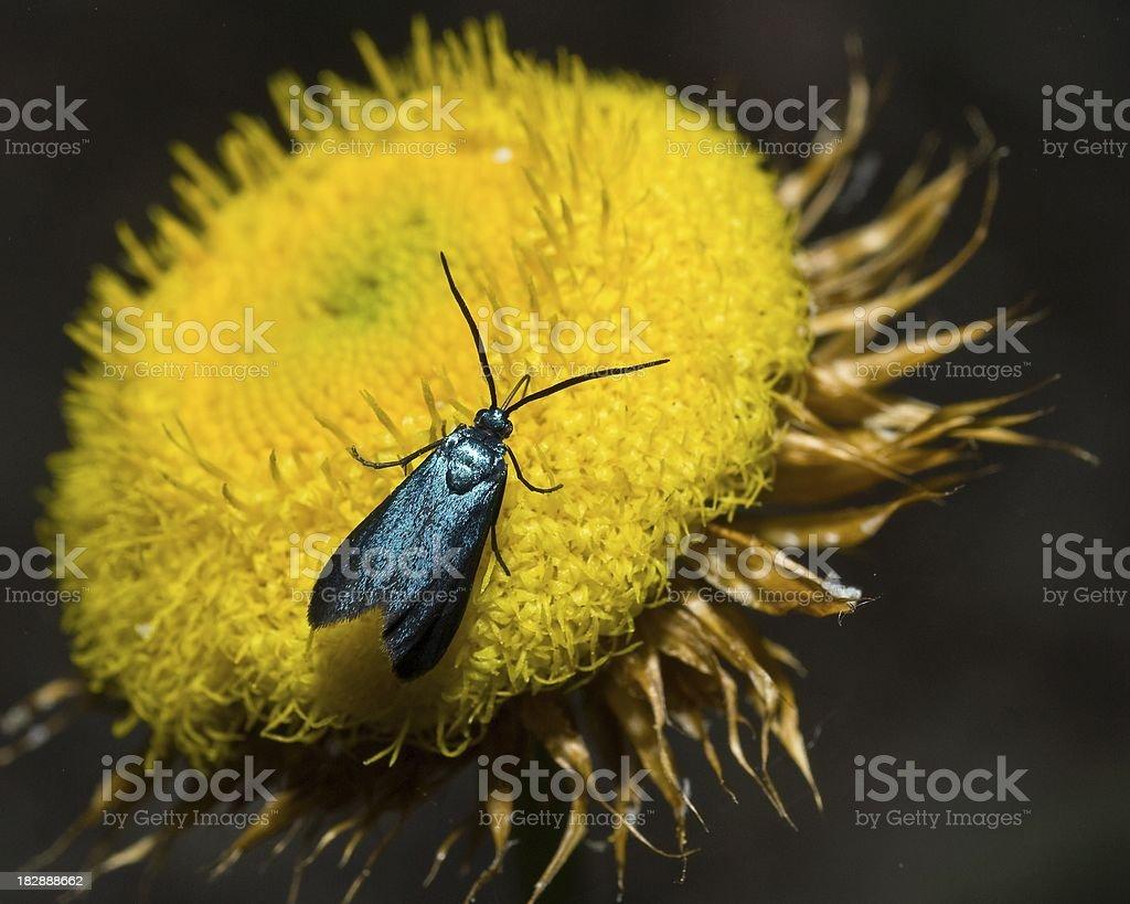 Moth on Daffodil royalty-free stock photo