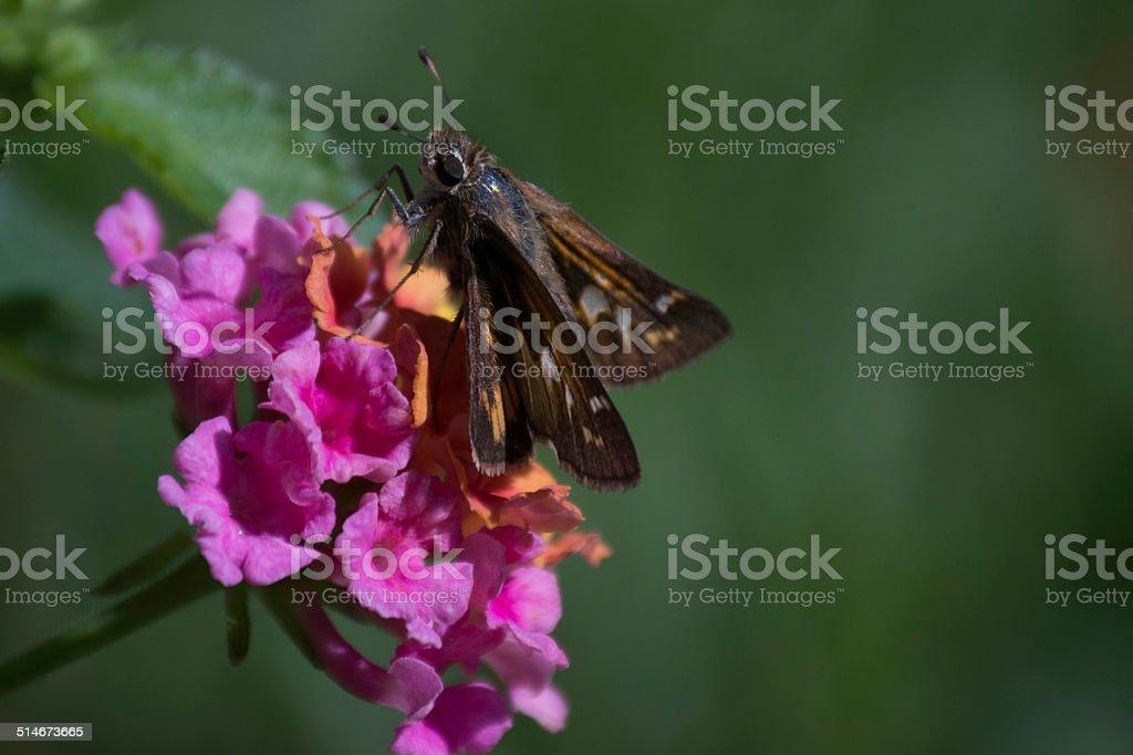 Moth on Flower stock photo