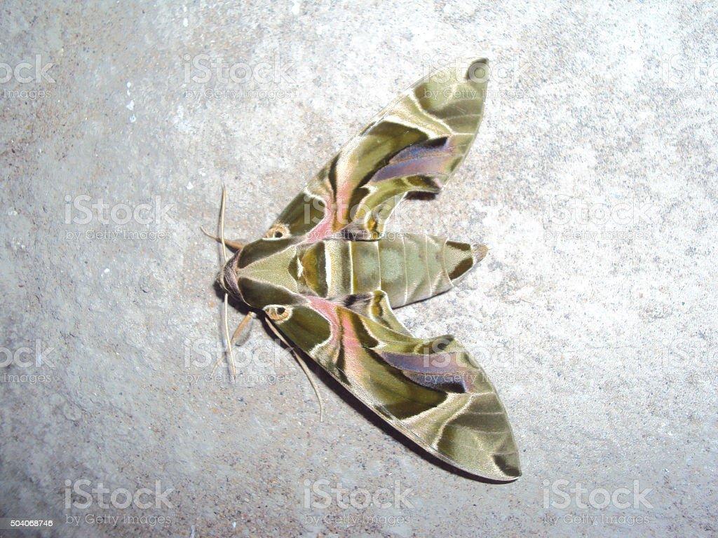 Moth on wall stock photo