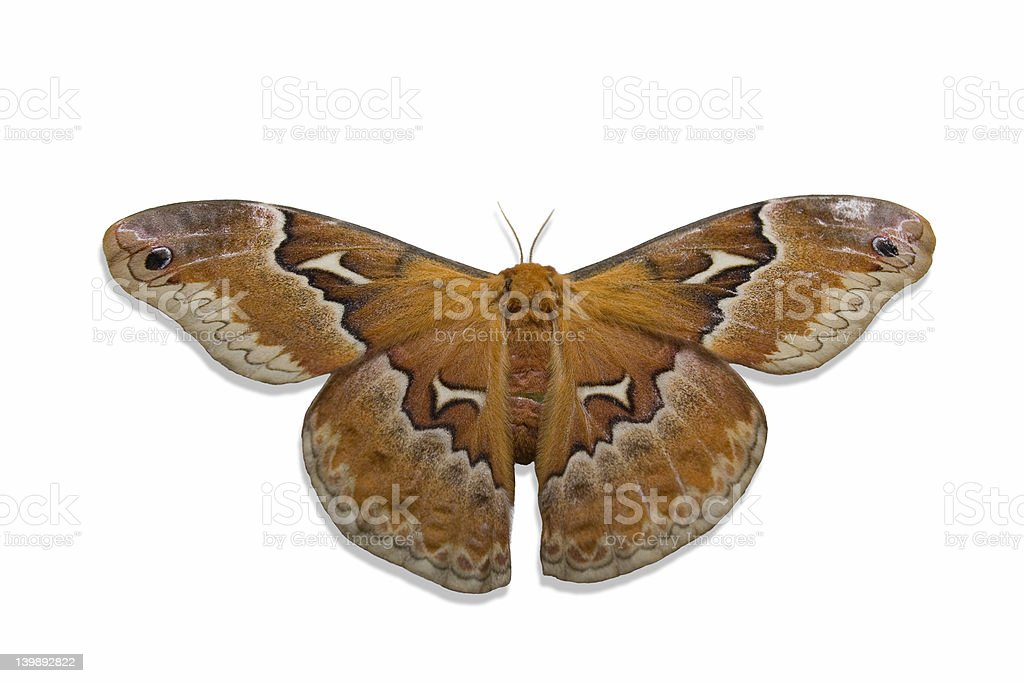 Moth on White royalty-free stock photo