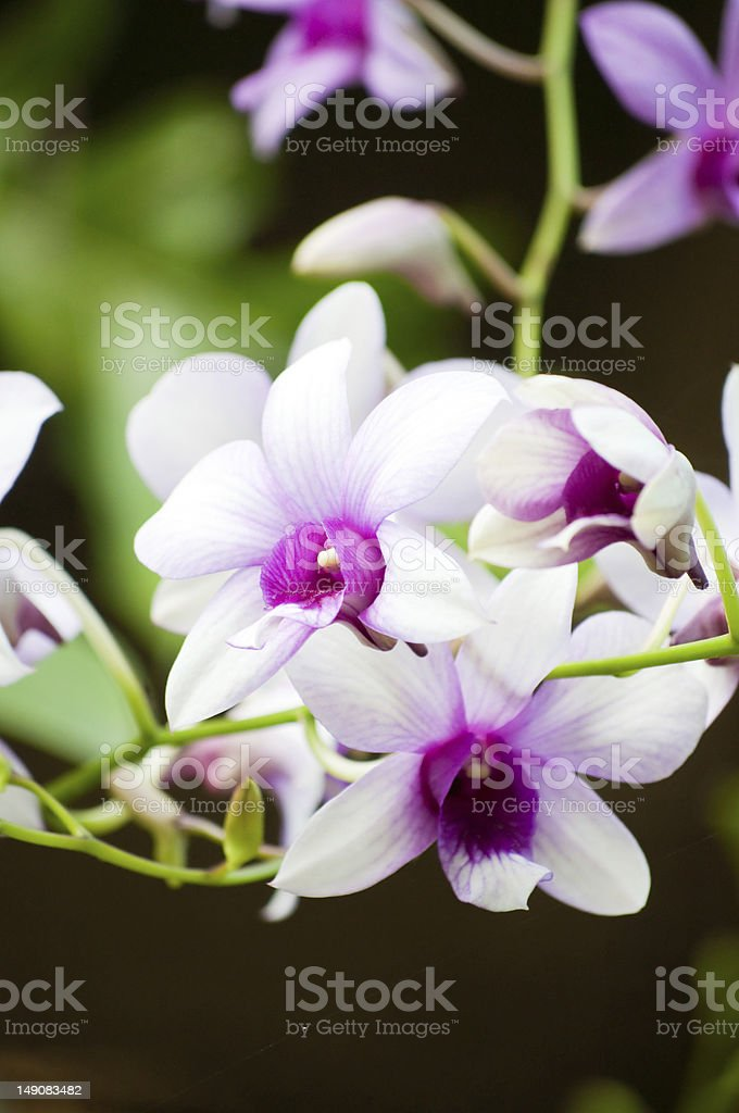 Moth orchid royalty-free stock photo
