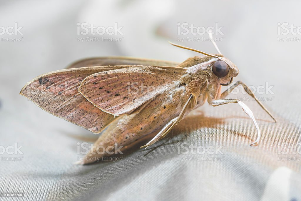 Moth (Night Fly) royalty-free stock photo