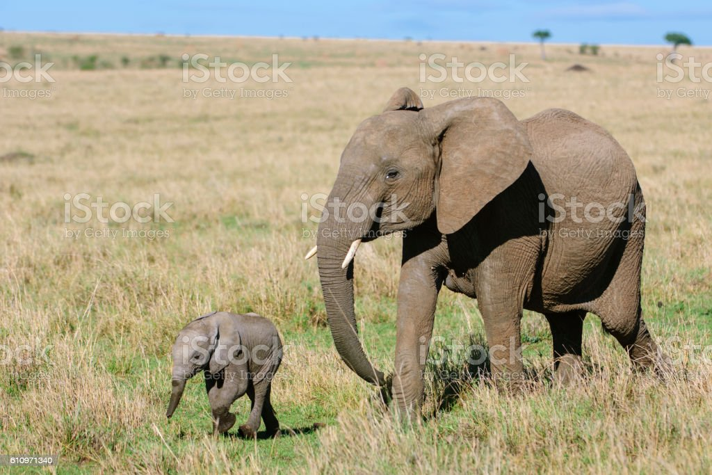 Mother African Elephant and New Baby stock photo