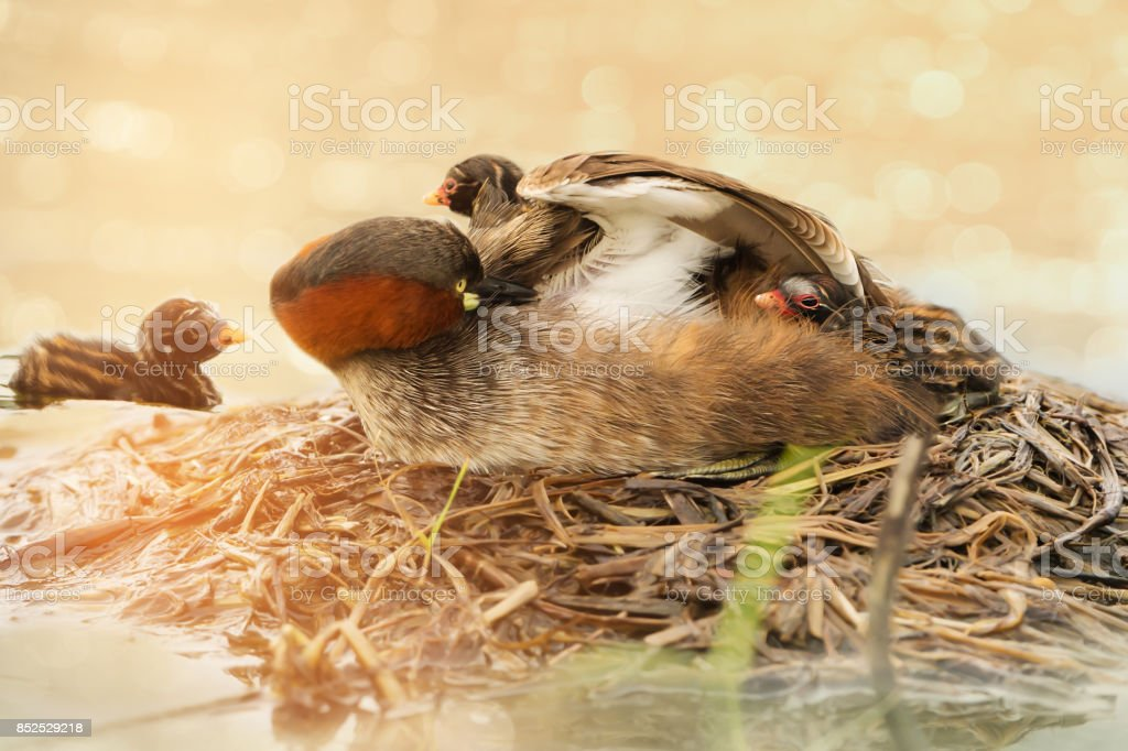 Adorable Little Grebe mother playing peekaboo with her chick at...