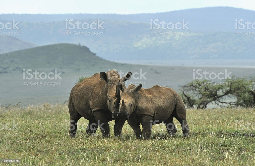 Mother and baby black rhino cuddling stock photo