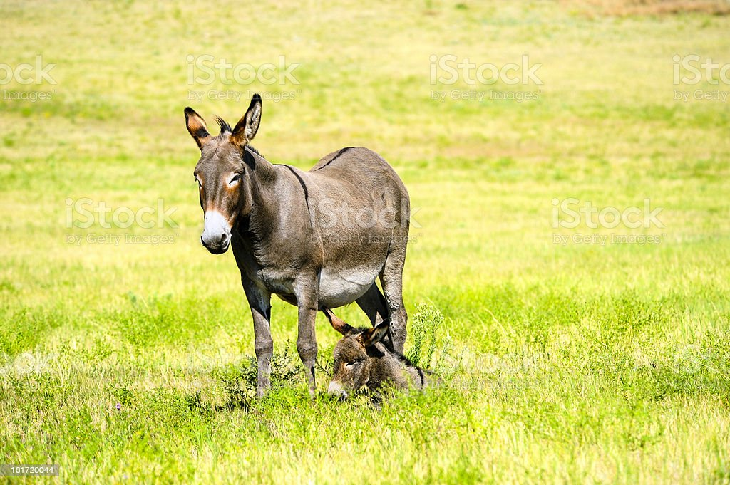 Mother and Baby Burro royalty-free stock photo