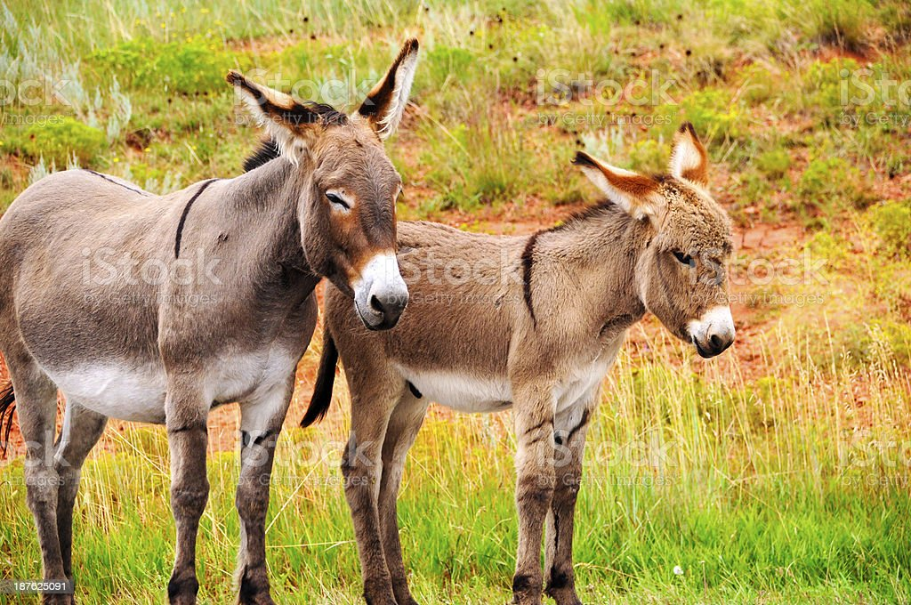 Mother and Baby Burro stock photo