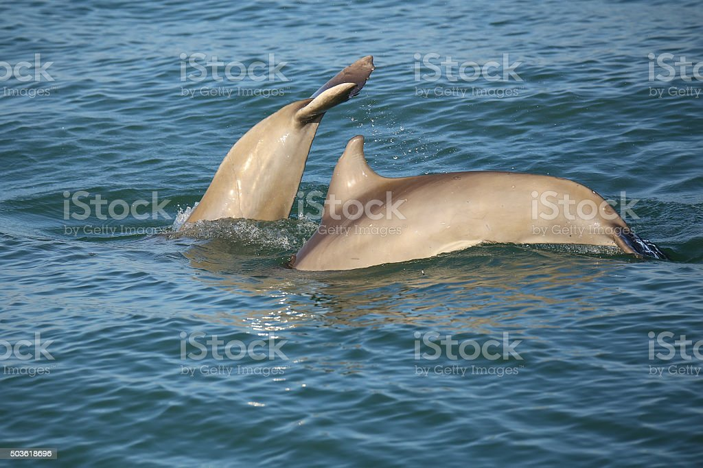 Mother and baby Common bottlenose dolphins diving stock photo